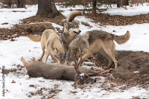 Three Grey Wolves (Canis lupus) Tails Up at White-Tail Deer Kill