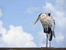 Beautiful Great Blue Heron Standing On A Ocean Florida Pier