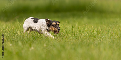 Dog Running Across The Meadow Cute Jack Russell Terrier 3 Years