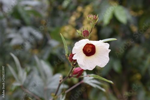 Fotografia Flor de hibisco vermelha e branca