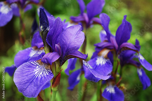 Spoed Foto op Canvas Iris яркие ирисы