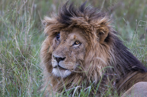 Photo  Portrait of the dominant male with the nickname Scarface in the Masai Mara Natio