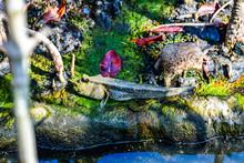 Mudskipper Fish With Mangrove ...