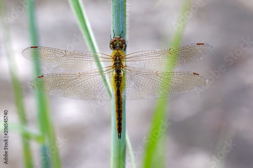 Image of Wandering Glider dragonfly(Pantala flavescens) on nature background. Insect. Animal