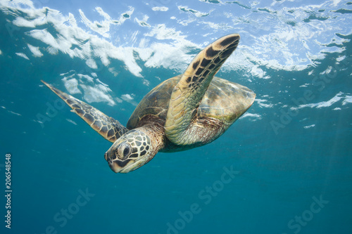 In de dag Schildpad Sea Turtle Underwater in Tropical Clear Blue Ocean from Below