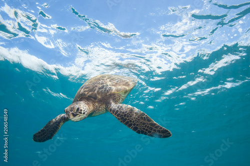 Photo  Sea Turtle Underwater in Tropical Clear Blue Ocean from Below