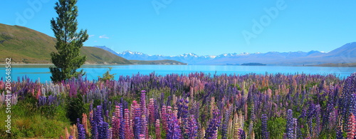 Fotografie, Obraz Colorful Lupine Wild Flowers and Alpine Lake in New Zealand