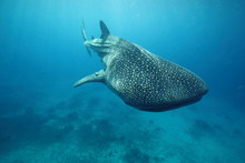 Whale Shark Swimming Past Came...