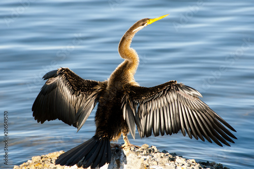 Canvas Print Australasian Darter Bird - Perth - Australia