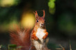 Detail squirrel in wild nature with blur backroud