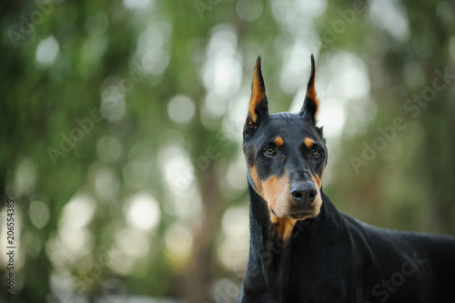 Black And Tan Doberman Pinscher Dog Outdoor Portrait With Cropped