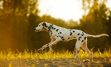 Dalmatian Dog Running In Field...