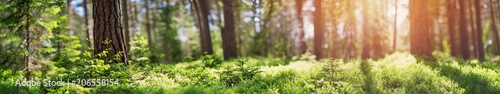 Tuinposter Bomen pine and fir forest panorama in spring. Pathway in the park