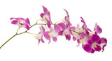 dendrobium orchid flower isolated
