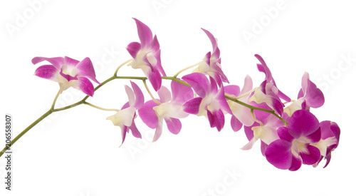 Poster Fleur dendrobium orchid flower isolated