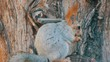 A small gray squirrel with a red tail and ears eats nuts on a wood background