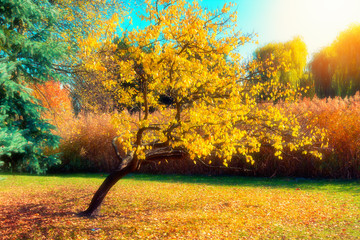 Obraz Autumn nature landscape. Tree with yellow leaves in park.