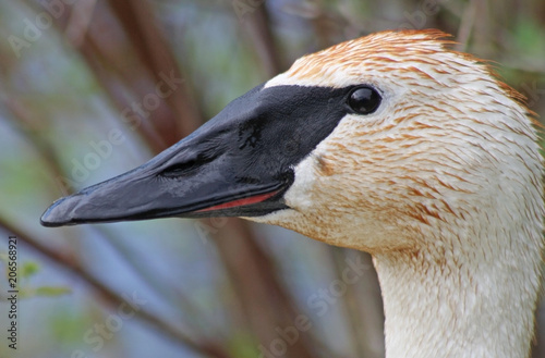 Profile of a wild Trumpeter Swan with its distinctive black beak