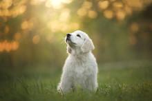 Golden Retriever Puppy Runs On...