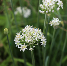 Closeup Of White Flowers Of Th...