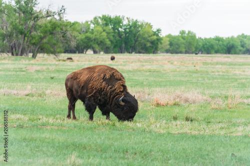 Foto op Plexiglas Buffel Buffalo herd