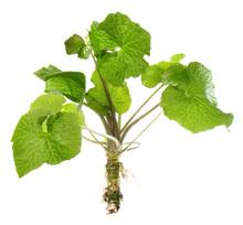 Wasabi - Pflanze