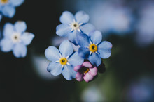 Forget-Me-Not Flowers 2018