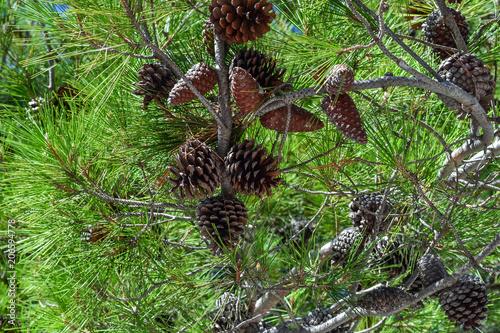 Fotografie, Obraz  Spruce bumps on a branch close-up.