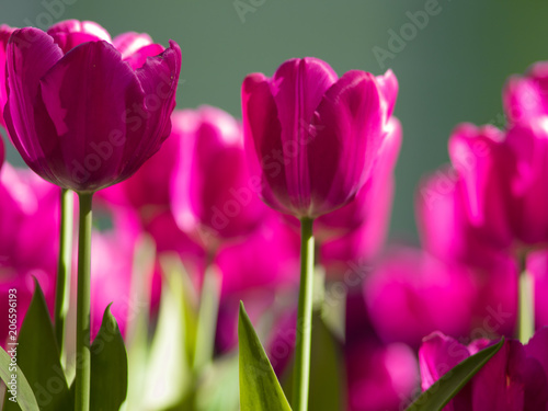 Poster Rose Purple Tulips. Flower bed or garden with different varieties of tulips.