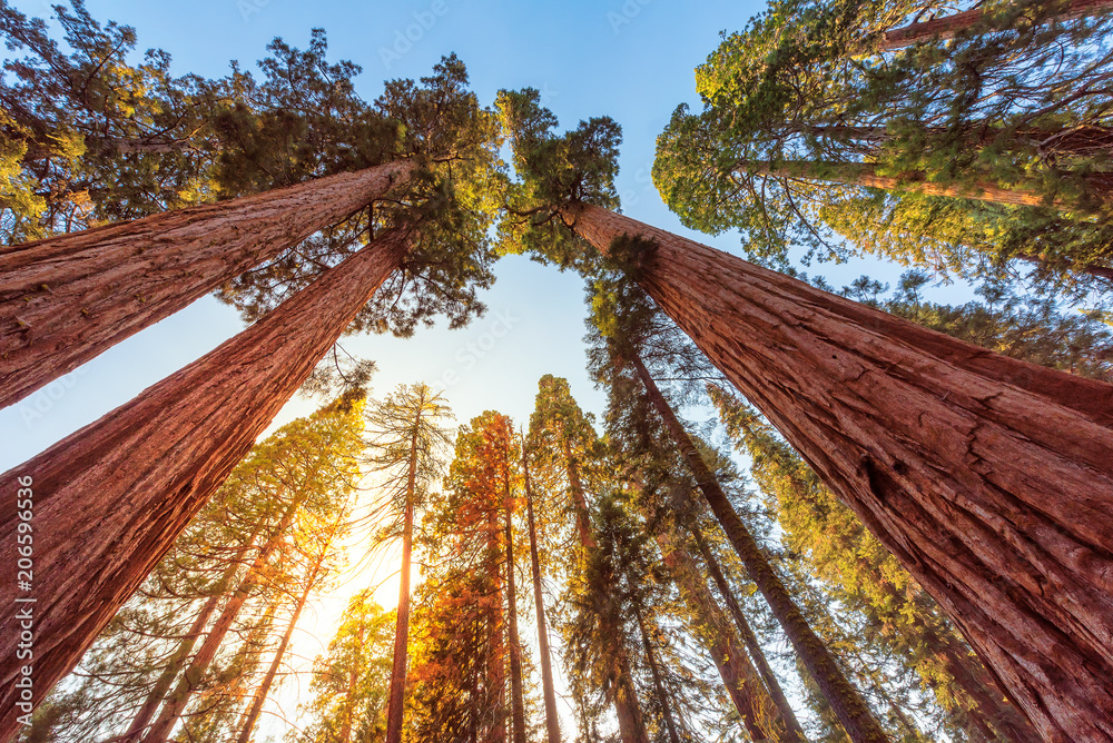 Fototapety, obrazy: Tall Forest of Sequoias, Yosemite National Park, California
