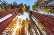 Leinwanddruck Bild - Tall Forest of Sequoias, Yosemite National Park, California