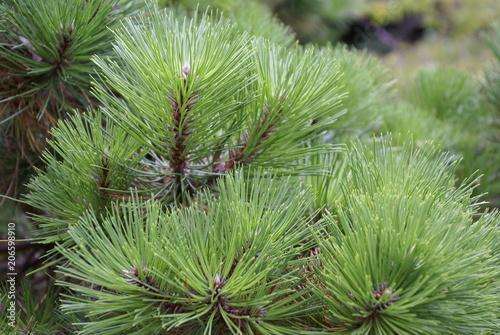 Bergkiefer Latschenkiefer 99 Pinus mugo