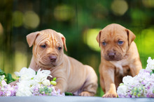 Two American Pit Bull Terrier Puppies Outdoors In Summer