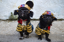 Two Cute Dogs Dressed In Cuban...
