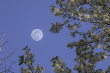 Bradford Pear With Full Moon