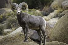 Bighorn Sheep Ram In Joshua Tr...
