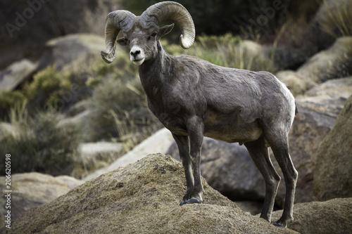 Fotografie, Obraz  Bighorn Sheep Ram in Joshua Tree National Park