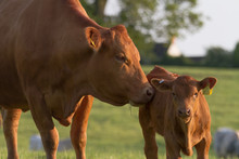 Mother Cow And Baby