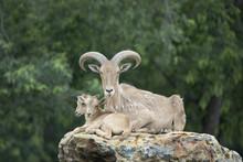 Aoudad (Barbary Sheep) Mother And Two Baby Lambs