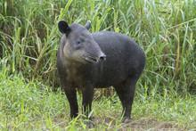 Baird's Tapir (Tapirus Bairdii...