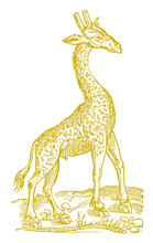 Giraffe In Side View. Illustration After A Historical Woodcut From The 16th Century