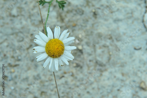 Foto op Canvas Madeliefjes daisy, flower, white, nature, summer, camomile, yellow, spring, plant, chamomile, garden, blossom, bloom, petal, beauty, isolated, macro, floral, green, flora, closeup, beautiful, field, flowers, stem