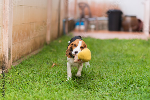 Cute Beagle Dog Running On The Grass Floor Buy This Stock Photo