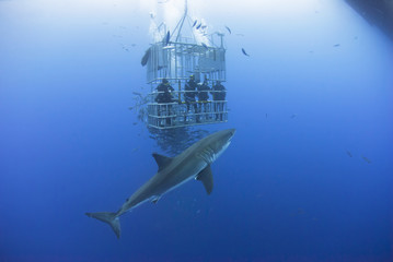 Fototapeta Great white shark in front of a diving cage with scuba divers