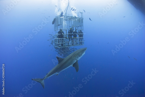 Photo Great white shark in front of a diving cage with scuba divers