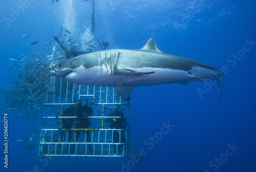 Fotografie, Obraz  Great white shark sideways in front of a diving cage with scuba divers