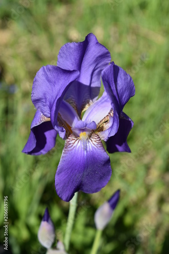 a blossoming purple iris flower close-up on a soft green blurred background