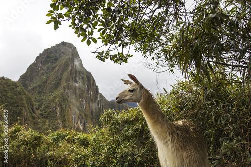 Poster Lama Llama at Machu Picchu in Peru
