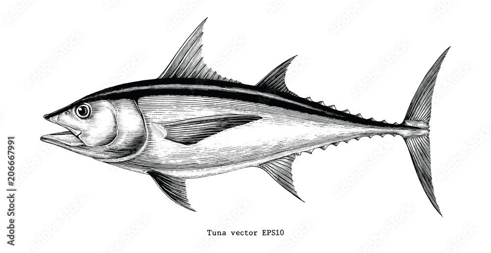Fototapeta Tuna fish hand drawing vintage engraving illustration