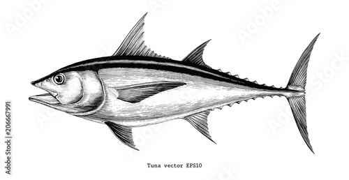 Fototapeta Tuna fish hand drawing vintage engraving illustration obraz